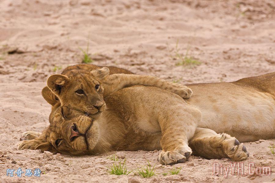 狮子幼崽的母亲拥抱