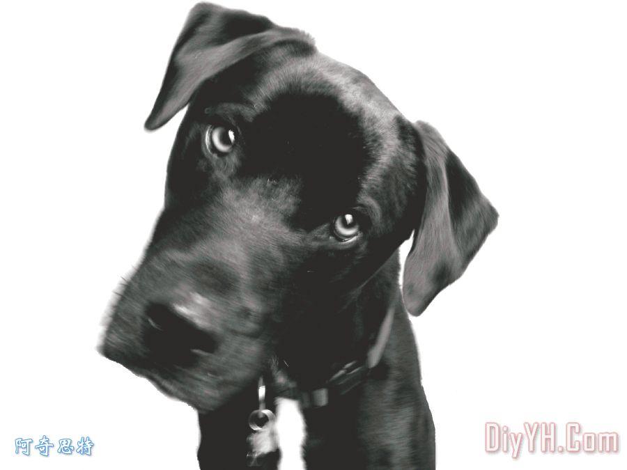 什么装饰画 动物 宠物 公狗 黑白 阿莱西奥 图片大全 阿奇思特