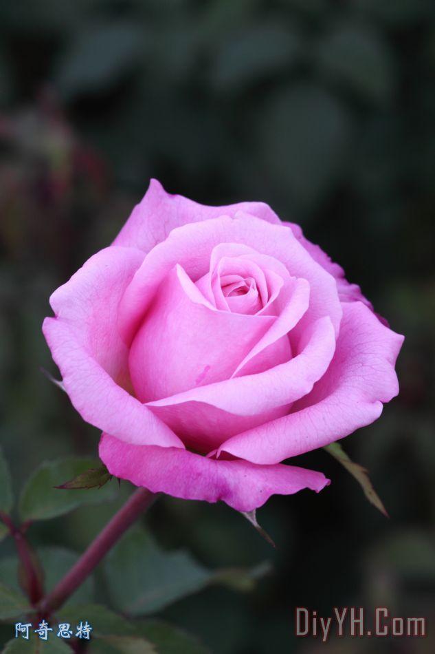 秋天的玫瑰装饰画 风景 花卉 图片大全 阿奇思特图片